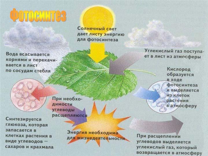 что такое фотосинтез