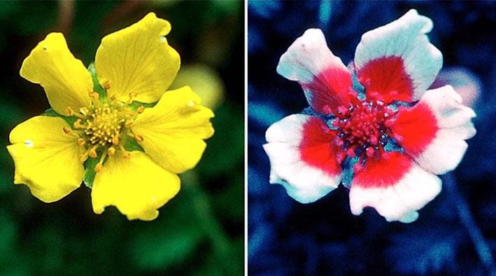 как видят бутоны цветков пчелы