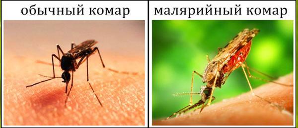 отличие простых и малярийных комаров