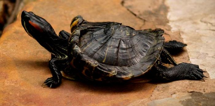 рахит у черепахи при недостатке ультрафиолета
