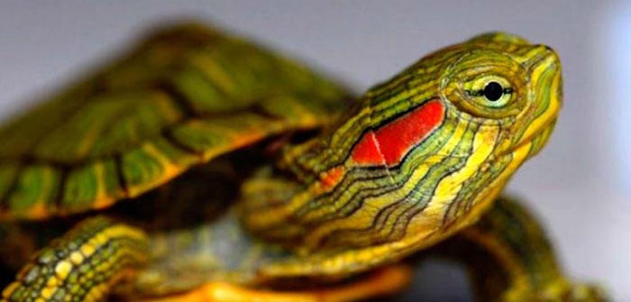 красноухая черепашка
