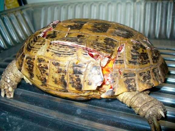 больная черепаха