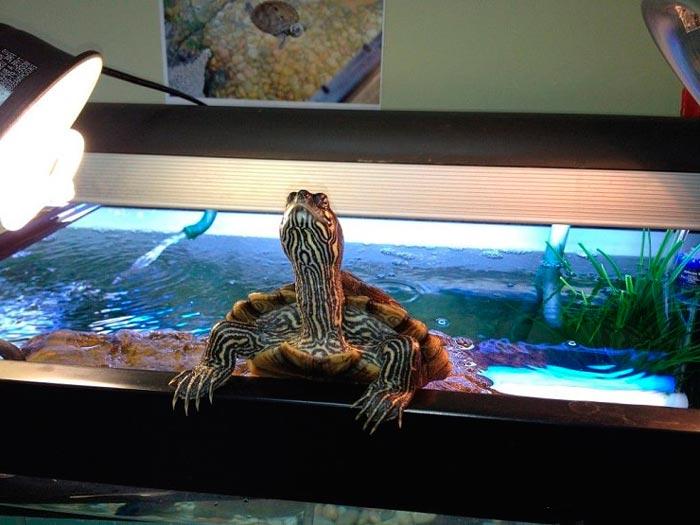 черепаха в домашнем аквариуме