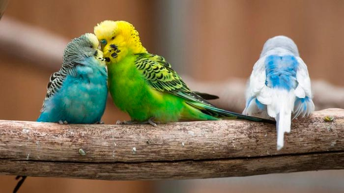 как попугаи различают пол друг друга